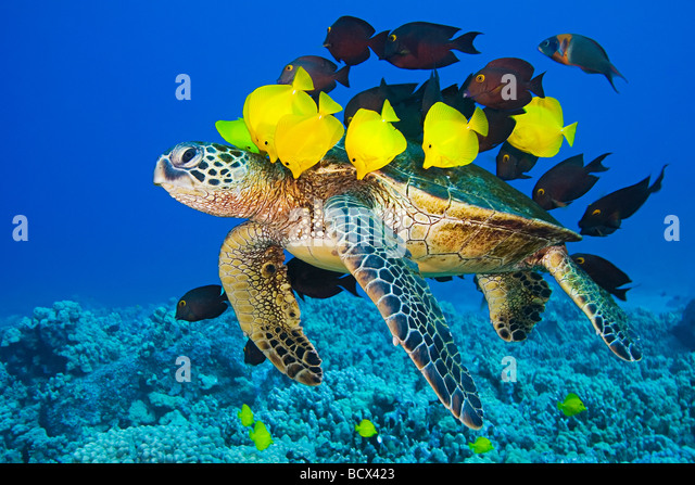 Green Sea Turtle cleaned by Surgeonfishes Chelonia mydas Kona Coast Big Island Pacific Ocean Hawaii USA - Stock-Bilder