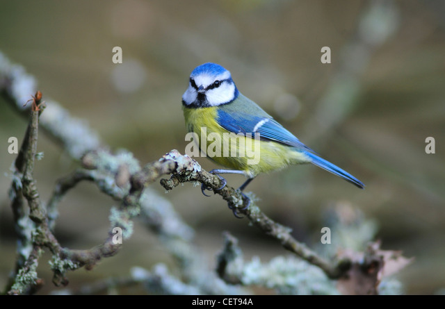 A blue tit in winter on a lichen covered twig UK - Stock-Bilder