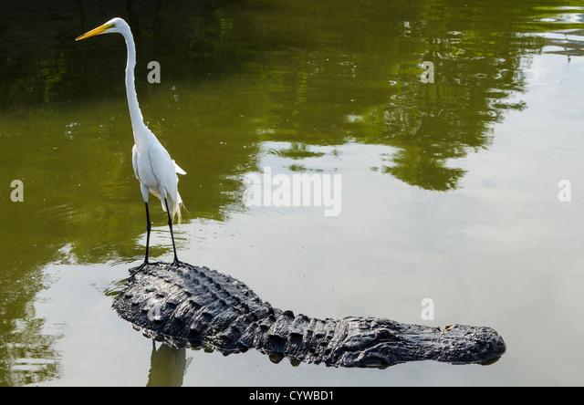great-egret-riding-alligator-at-gatorlan