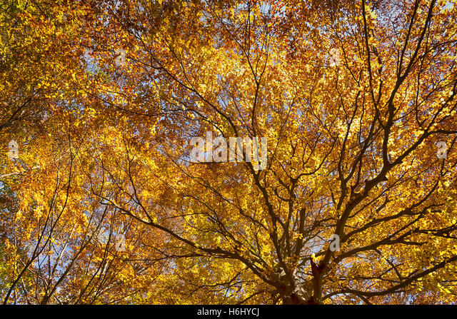 the tree in autumn with sun rays passing through the branches - Stock Image