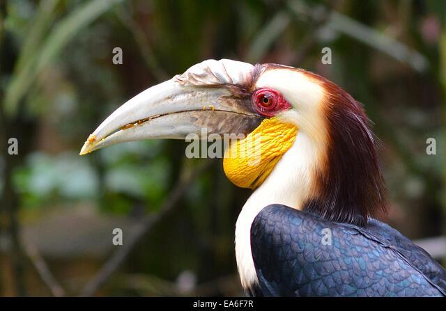 Indonesia, West Java, Bogor, Taman Safari, Rhinoceros hornbill - Stock Image