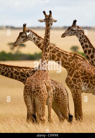 Masai Giraffe graze on Masai Mara, Kenya . - Stock Image