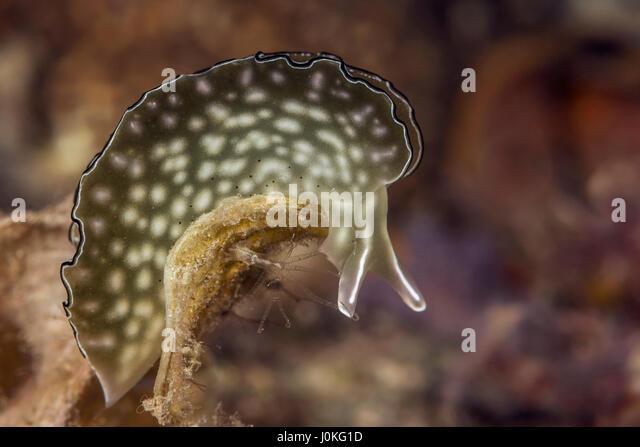 Ornate Leaf Slug, Elysia ornata, Raja Ampat, West Papua, Indonesia - Stock Image