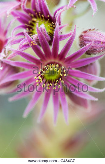 Sempervivum Roter Gigant flowers - Stock Image