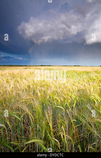 A storm passes over a summer barley field in Norfolk. - Stock Image