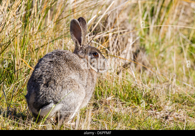 Introduced adult European rabbit (Oryctolagus cuniculus), New Island, Falklands, South Atlantic Ocean, South America - Stock Image