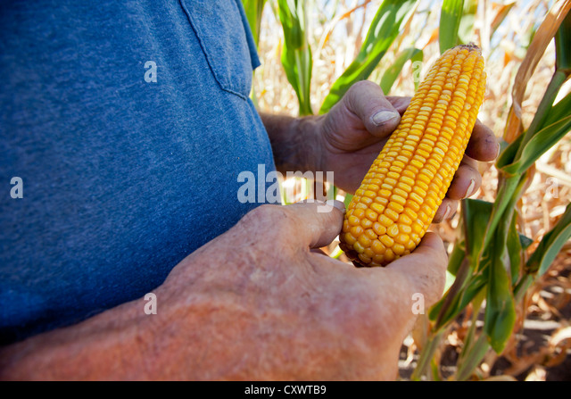 Farmer examining ear of corn - Stock Image
