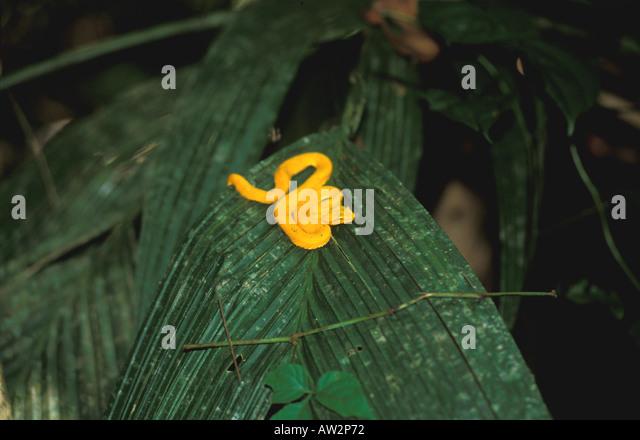 Costa Rica eyelash viper yellow snake on palm frond in dark rain forest - Stock Image