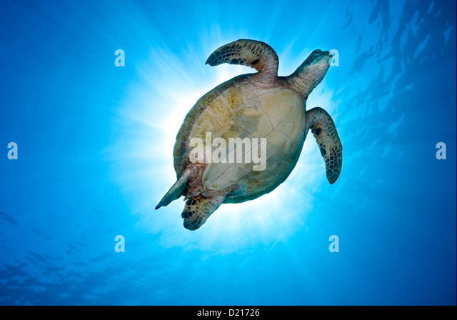 Green Sea Turtle Chelonia mydas swimming over a Coral Reef, Coral Sea, Great Barrier Reef, Pacific Ocean, Queensland - Stock Image