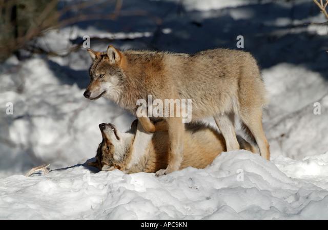 Wolf lying on back - photo#25