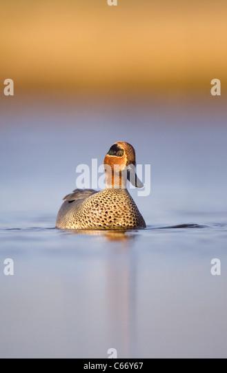 TEAL Anas crecca Portrait of an adult male on a shallow coastal lagoon. Norfolk, UK. Photographer.Andrew Parkinson - Stock-Bilder