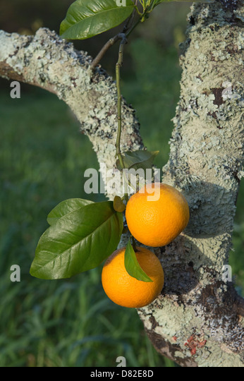 Oranges grow on organic citrus farm Quinta do Arao Mexilhoeira Grande Algarve Portugal Mediterranean Europe - Stock Image