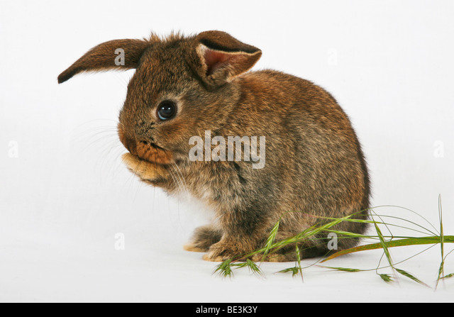 Young pet rabbit cleaning itself - Stock Image