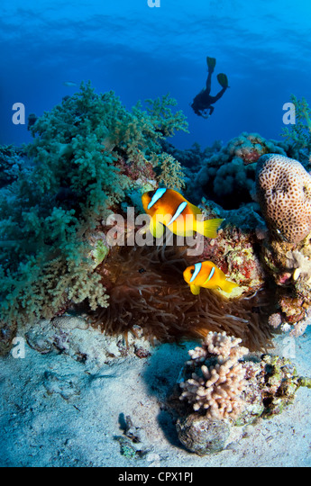 Anemone fish and diver in the Red Sea, Egypt - Stock Image