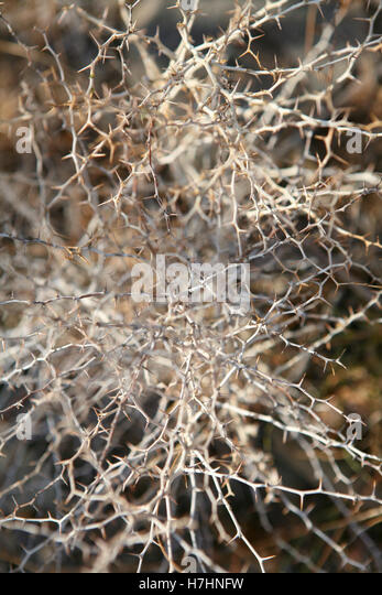 Asparagus albus - close up showing dried skeleton structure - Stock Image