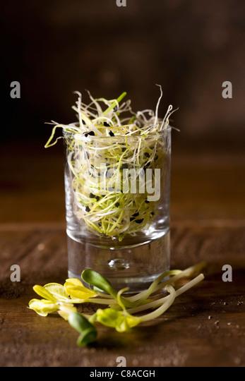 lentil shoots - Stock Image
