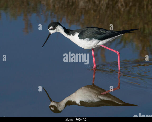 Black-necked Stilt (Himantopus mexicanus) with its reflection - Stock Image