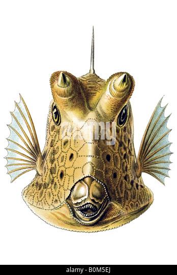 Ostraciontes Ostraciidae Knochenfische Name Ostracion cornatus, art nouveau, 20th century, Europe - Stock-Bilder