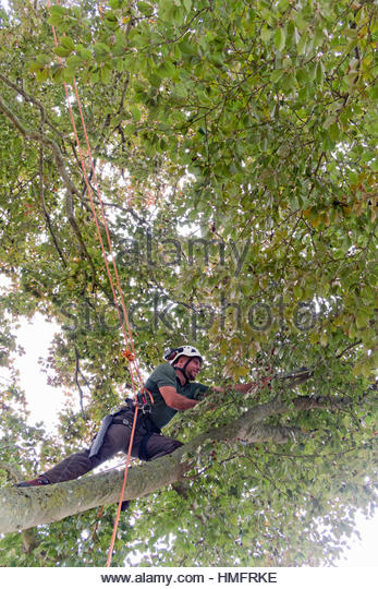 Tree surgeon wearing safety harness pruning copper beech tree branch with saw - Stock-Bilder