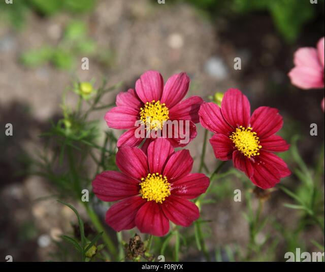 Cosmos bipinnatus 'Antiquity' close up of flowers - Stock Image