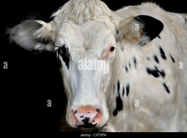Friesian cow - Stock Image