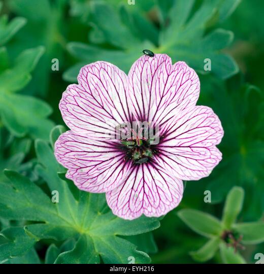 violette blumen stock photos violette blumen stock. Black Bedroom Furniture Sets. Home Design Ideas