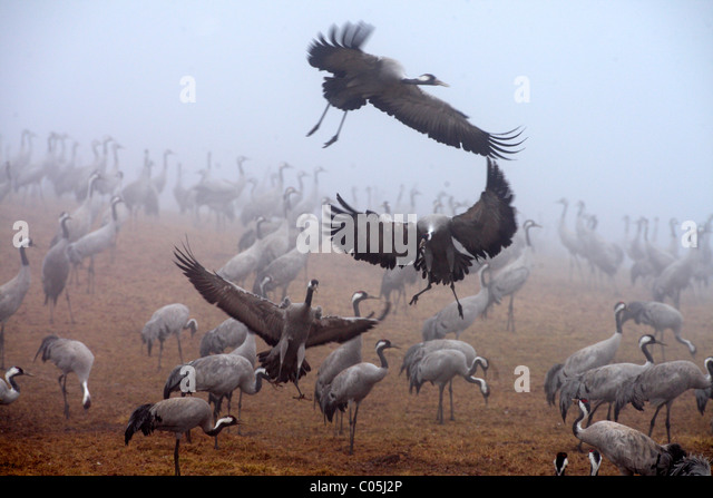 Common Cranes in early morning fog in spring, Hornborgasjoen Lake, Sweden - Stock Image