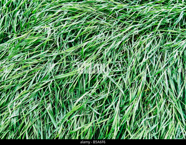 Water Droplets On Green Grass - Stock Image