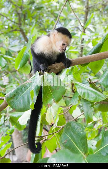 White-headed capuchin monkey in costa rica - Stock Image