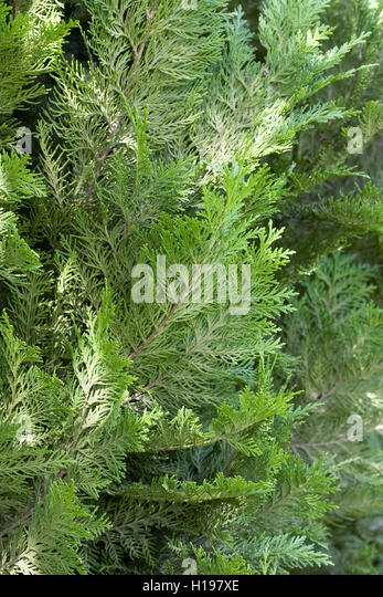 Chamaecyparis lawsoniana 'Green Pillar'. - Stock Image