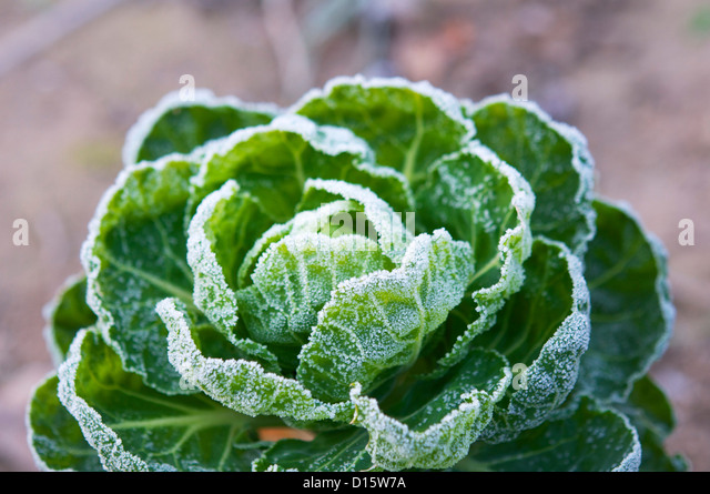Brussels sprout plant covered in frost in December. - Stock Image