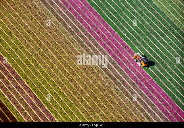 Netherlands, Burgervlotbrug, Tulip fields, Farmer topping tulips. Aerial - Stock Image