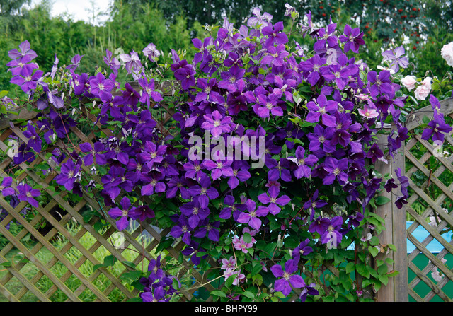 trellis clematis stock photos trellis clematis stock images alamy. Black Bedroom Furniture Sets. Home Design Ideas