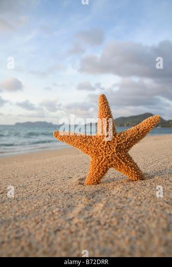 A starfish stuck upright on a sandy beach - Stock Image