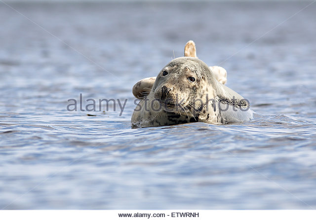 A Common Seal basking on a rock off the west coast of Scotland. - Stock-Bilder