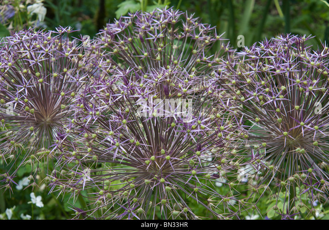 Alliums in the gardens of Mottisfont Abbey Hampshire - Stock Image