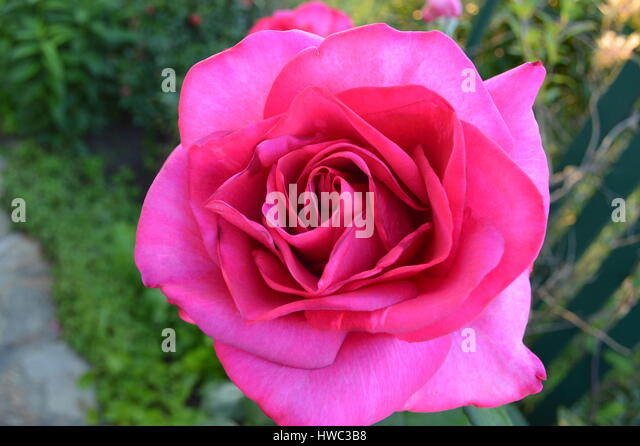 A beautiful pink rose in a garden - Stock Image