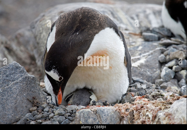 Gentoo Penguin (Pygoscelis papua) and chick hatching from egg in nest at rookery, Wiencke Island, Palmer Archipelago, - Stock Image