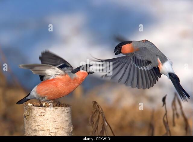 Passerine battle. Bullfinches spring fighting - Stock Image