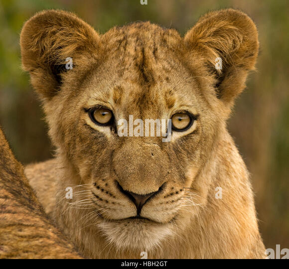Lion Cub (Panthera leo) close up portrait - Stock Image