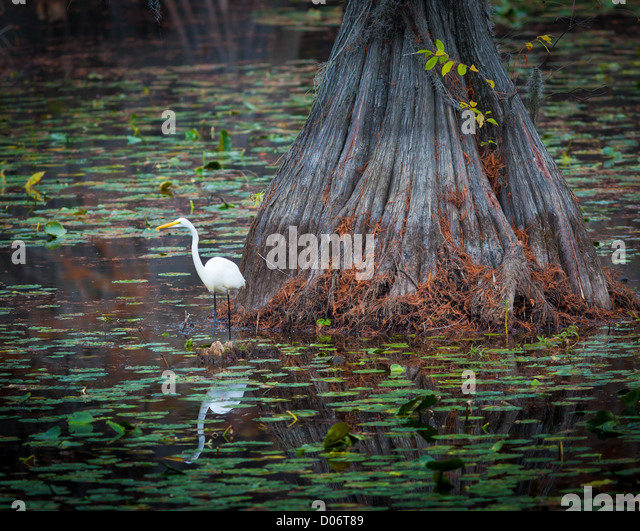 Egret on cypress tree at Caddo Lake State Park in east Texas - Stock-Bilder
