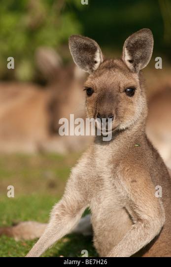 Western Grey Kangaroo (Macropus fuliginosus) - Stock Image