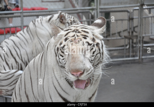 Tiger Funny Stock Photos & Tiger Funny Stock Images - Alamy