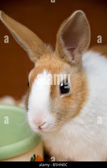 Young Alert Dutch Rabbit by Feeding Bowl - Stock Image