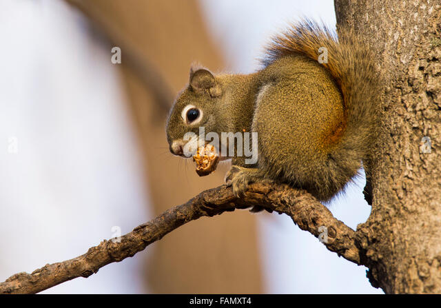 American red squirrel feeding winter. - Stock Image