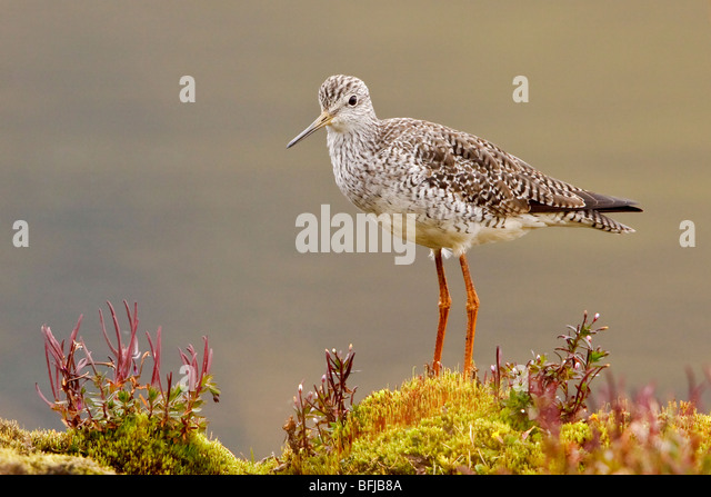 Greater Yellowlegs (Tringa melanoleuca) perched on paramo vegetation in the highlands of Ecuador. - Stock Image