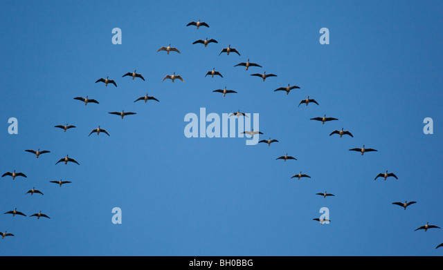 Canada Geese (Branta canadensis) migrating south for the winter. - Stock Image
