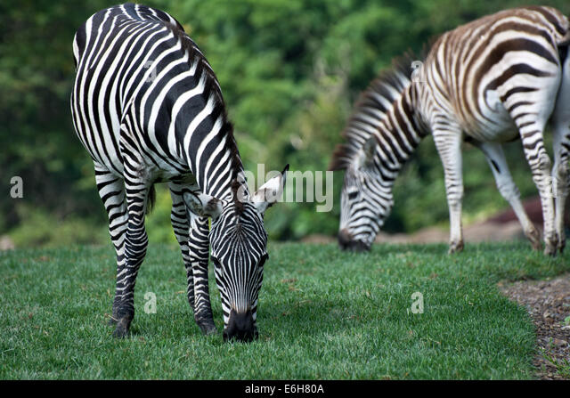 Zebras graze at the Pittsburgh Zoo, Pittsburgh, Pennsylvania - Stock Image
