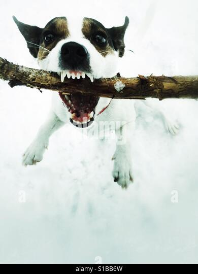 Dog hanging onto a stick with sharp teeth showing. - Stock Image