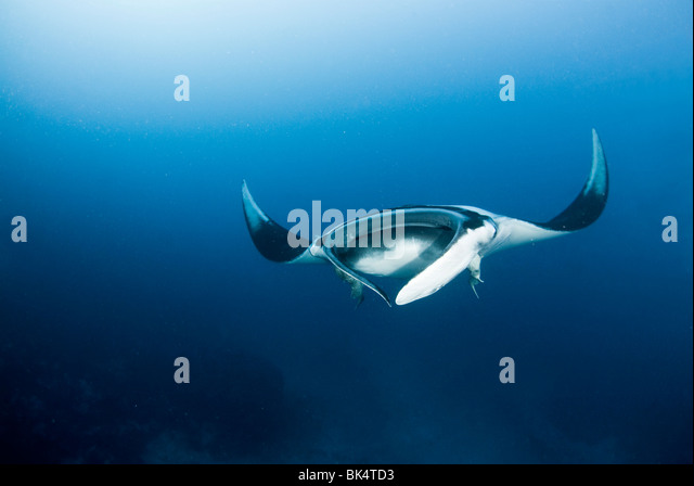 Manta ray, Mergui Archipelago, Burma, Andaman Sea, Indian Ocean - Stock-Bilder
